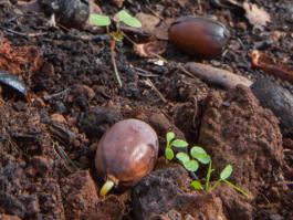 Acorn sprouts-CNPS-April 2018