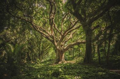 tree-des-druids